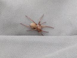 Has A Brown Recluse Spider Been Seen In California