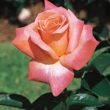 Meaning of rose in english. Arizona Grandiflora Rose Grandiflora Roses Edmunds Roses