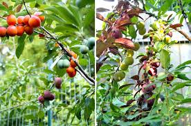 Apple Trees For Sale  Fast Growing TreesFruit Salad Trees Usa