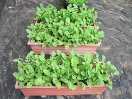 container garden vegetables. Radishes In Pots Container Garden Vegetables E