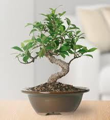 brussel s golden gate ficus bonsai small