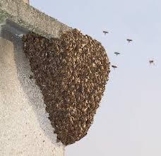 """Résultat de recherche d'images pour """"essaim d'abeilles"""""""