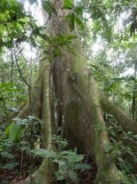 amazon rainforest tree leaves. Amazon Ceiba Tree To Rainforest Leaves