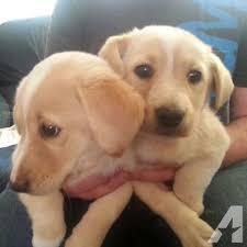 yellow lab husky mix puppies