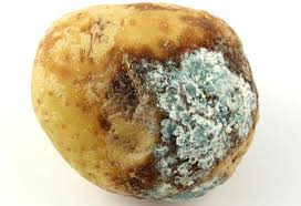 Image result for rotten potato