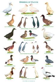 Domestic Duck Breeds Chart A4 Laminated Posters Breeds Of Pigs Duck Breeds Geese