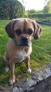 cute baby puggle. Brilliant Baby Because Nothing Is As Cute A Puggle Face Inside Cute Baby