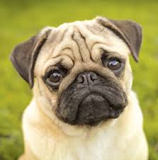 Image result for pug dog