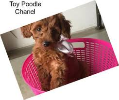 panion dogs toy poodle in