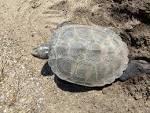 turtler