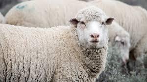 Bluetounge Virus Uk Detects Bluetongue Virus In Imported Sheep Ieg Vu