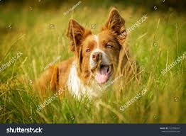 Happy Red White Border Collie Dog Stock ...