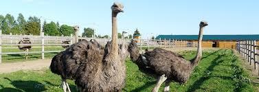 <b>Экскурсии на страусиную ферму</b>