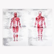 Us 5 65 25 Off Human Anatomy Muscles System Art Poster Body Educational Chart Printed Picture For Medical Classroom Study Decor In Painting