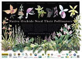 Orchid Poster Pollinator Org