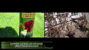 Black spot rose disease: Prevention and cure - YouTube