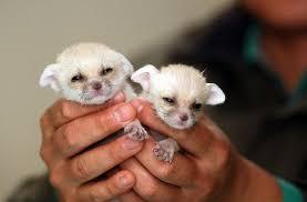 newborn fennec fox. Contemporary Newborn Newborn Fennec Foxes To Fennec Fox