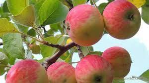 Apple Fruit Wallpaper Hd Wallpaper ...