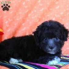 holly 850 00 quarryville pa morkie poo puppy