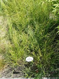 Carex punctata – Wikipédia, a enciclopédia livre