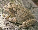 canyon treefrog