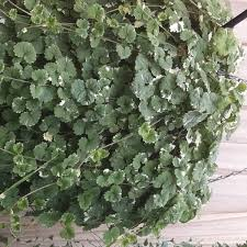 Trailing Hanging Basket Plants