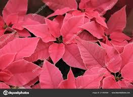 Gruppe Von Rosa Weihnachtsstern Voller Blüte Weihnachten