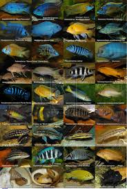 African Cichlid Aggression Chart There Are Many Species Of African Cichlids Including The