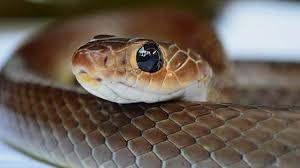 Designer Morphs Western Hognose Snakes 10 Smallest Cutest Snake Breeds You Can Have As A Pet