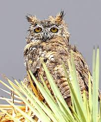 plucked owl. Perfect Owl Great Horned Owl With Wet Feathers Waiting Out A Rainstorm In Plucked Owl I