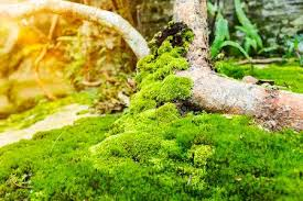 outdoor woods backgrounds. Nature Background. Closeup Moss On Growth Log With Bright Sunlight Outdoor  At The Daytime. Woods Backgrounds