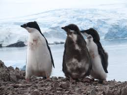 penguins smithsonian ocean portal three juvenile adelie penguins