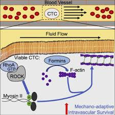 Cancer Cells Resist Mechanical Destruction in Circulation via  RhoA/Actomyosin-Dependent Mechano-Adaptation - ScienceDirect