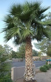 fan palm trees. mexican fan palm trees