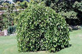 Illinois Everbearing Mulberry Tree For Sale  FastGrowingTreescomTeas Weeping Fruiting Mulberry Tree