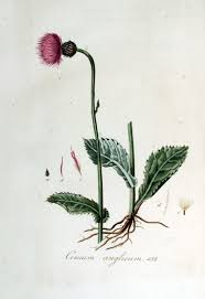 Cirsium dissectum - Wikipedia, la enciclopedia libre