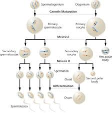 Biology Exams 4 U Difference Between Spermatogenesis And