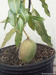 Fuyu Asian Persimmon  Persimmon Trees  Stark Brou0027sFull Size Fruit Trees For Sale