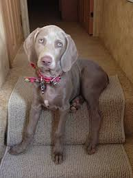 a light silver weimaraner puppy is sitting on a top step its head is slightly