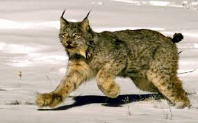 lynx size trapper fined for killing protected lynx in northern idaho