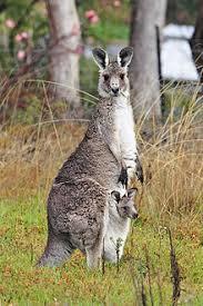 kangaroo and joey03 jpg