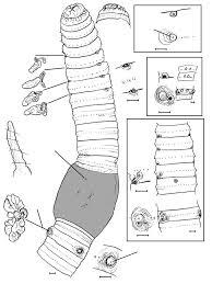 A amynthas carnosus roki subsp n holotype h dna w56 showing nos car diagram 90 nos car diagram
