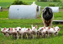 Free bbw treated pig