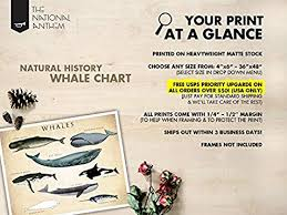 Amazon Com Whale Chart Art Print Whale Species Natural