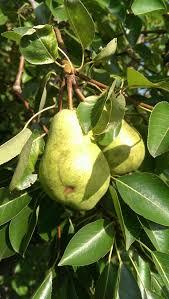 Citrus ID Fact Sheet Sour OrangesGreen Fruit Tree Identification