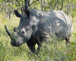 Белый носорог белые носороги ceratotherium simum  Род ceratotherium gray 1868 Белые носороги