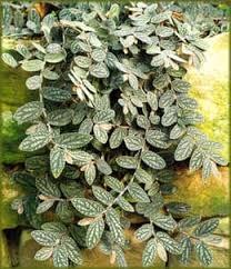 Пеллиония Даво pellionia daveauana пеллиония красивая  пеллиония красивая pellionia pulchra фото фотография с jardins interieurs