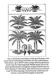 the complete book on coconut coconut products cultivation and transmitted through its canopy the life span of coconut palm could he divided into three distinct phases from the point of view of intercropping fig