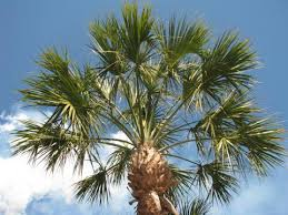 Sabal Palmetto | State Symbols USA