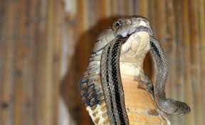 king cobra snake fangs. Contemporary Fangs King Cobra Snake Fangs  Photo3 Intended Cobra Snake Fangs